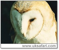 Barn Owl Listening for Prey - Photo � Copyright 2001 Gary Bradley