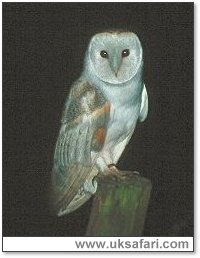 Barn Owl Perching Photo � Copyright 2001 Gary Bradley