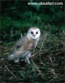 Young Barn Owl - Photo � Copyright 2003 Martin Bailey