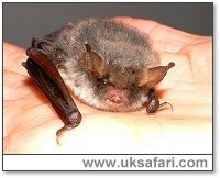 Natterer's Bat - Photo � Copyright 2002 Gary Bradley
