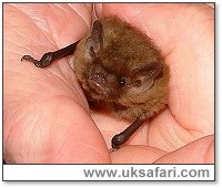 Soprano Pipistrelle Bat - Photo � Copyright 2002 Gary Bradley