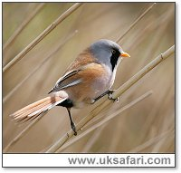 Bearded Reedling - Photo � Copyright 2006 Dean Eades