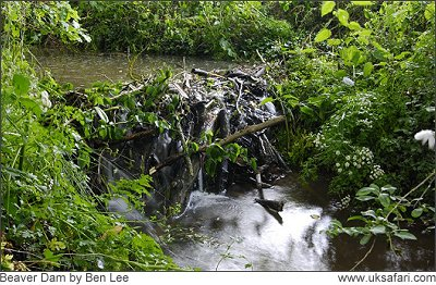 Beaver Dam - Photo � Copyright 2008 Ben Lee