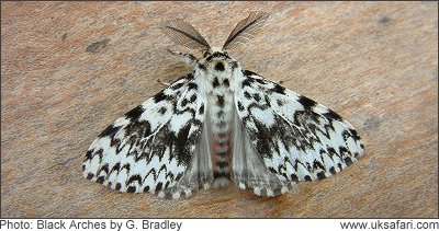 Black Arches Moth - Photo � Copyright 2008 G. Bradley