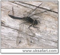 Male Black Darter - Photo � Copyright 2005 Nigel Scott