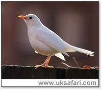 White Blackbird - Photo � Copyright 2006 Dean Eades