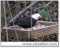 White-headed Blackbird - Photo � Copyright 2006 Kevin Allison