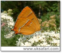 Brown Hairstreak - Photo � Copyright 2005 Gary Bradley