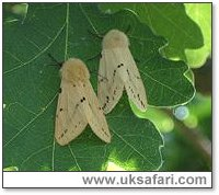 Buff Ermines - Photo � Copyright 2005 Alison Dark