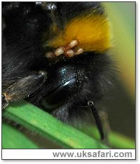 Bumble bee mites - Photo � Copyright 2005 Elizabeth Close