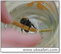 Immersing the Bee - Photo � Copyright 2005 Elizabeth Close