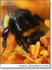 Bumble Bee - Photo � Copyright 2001 Gary Bradley
