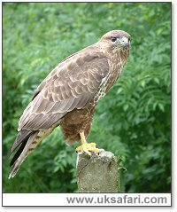 buzzards buteo buteo uk safari