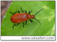 Cardinal Beetle - Photo � Copyright 2003 Gary Bradley