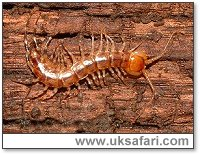 Centipede - Photo � Copyright 2003 Gary Bradley