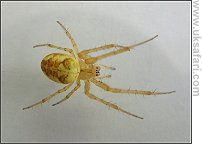 Common Orb Weaver - Photo � Copyright 2003 Gary Bradley