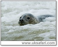 Common Seal - Photo: � 2005 Tony Margiocchi