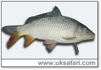 Common Carp - Photo � Copyright 2004 Sue North