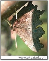 Comma Hibernating - Photo � Copyright 2000 Gary Bradley