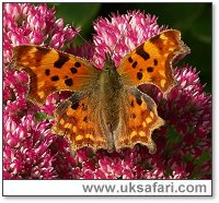 Comma Butterfly - Photo � Copyright 2004 John Smethurst