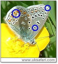 Common Blue - Photo � Copyright 2003 Gary Bradley