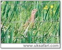 Corncrake - Photo � Copyright 2002 Nicole Burgum