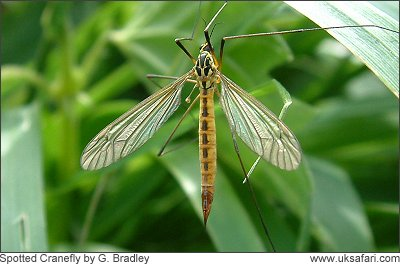 Spotted CRanefly - Photo � Copyright 2008 G. Bradley