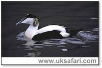 Male Eider Duck - Photo � Copyright 2003 Elliott Neep