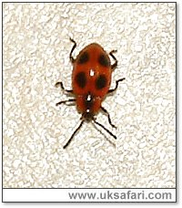 False Ladybird - Photo � Copyright 2005 Gary Bradley