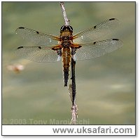 Four-Spotted Chaser - Photo � Copyright 2003 Tony Margiocchi