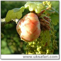 Oak Apple Gall - Photo � Copyright 2006 G. Bradley