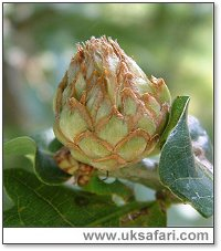 Artichoke Gall - Photo � Copyright 2004 G. Bradley