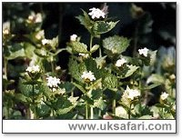 Garlic Mustard - Photo � Copyright 2001 Gary Bradley