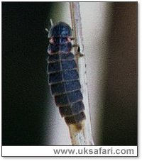 Glow-Worm - Photo � Copyright 2002 Gary Bradley