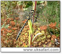 Golden-Ringed Dragonfly - Photo � Copyright 2003 Gary Bradley