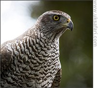Goshawk - Photo � Copyright 2007 Mark Simms