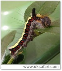 Grey Dagger Caterpillar - Photo � Copyright 2005 Alfred Bridge