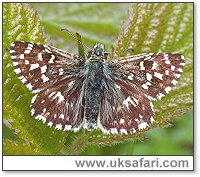 Grizzled Skipper - Photo � Copyright 2004 Steve Botham