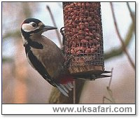 Great Spotted Woodpecker on Feeder - Photo � Copyright 2000 Gary Bradley