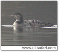 Great Northern Diver - Photo � Copyright 2005 Steve Botham