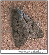 Grey Dagger Moth - Photo � Copyright 2000 Gary Bradley