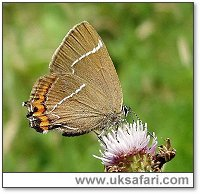 White Letter Hairstreak - Photo � Copyright 2004 Dean Stables