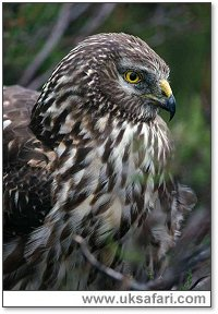 Hen Harrier - Photo � Copyright 2006 Laurie Campbell