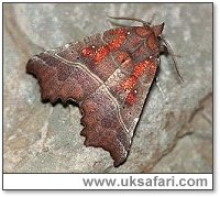Herald Moth - Photo � Copyright 2001 Gary Bradley