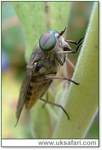 Horse Fly - Photo � Copyright 2003 Gary Bradley