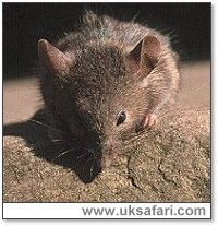 House Mouse - Photo � Copyright 2001 Gary Bradley