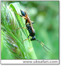 Ichneumon Fly - Photo � Copyright 2003 Gary Bradley
