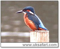 Kingfisher - Photo � Copyright 2003 Steve Botham