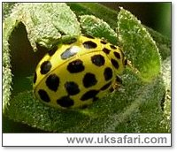 22-Spot Ladybird - Photo � Copyright 2005 Gary Bradley