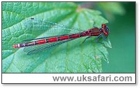 Large Red Damselfly - Photo � Copyright 2002 Gary Bradley